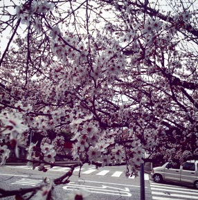 Blossoms in Chambery!